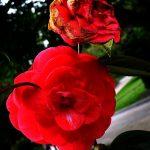 """""""Pobre flor"""" de Manuel Acuña"""