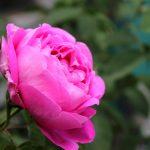 """""""A una rosa"""" de Luis de Góngora"""