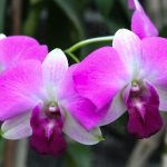 """""""Orquídeas"""" de José Santos Chocano"""