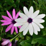 """""""Almas de flores"""" de Elizabeth Barrett Browning"""